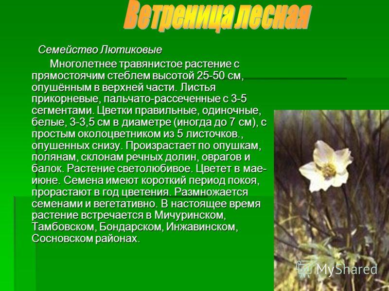 Семейство Лютиковые Семейство Лютиковые Многолетнее травянистое растение с прямостоячим стеблем высотой 25-50 см, опушённым в верхней части. Листья прикорневые, пальчато-рассеченные с 3-5 сегментами. Цветки правильные, одиночные, белые, 3-3,5 см в ди