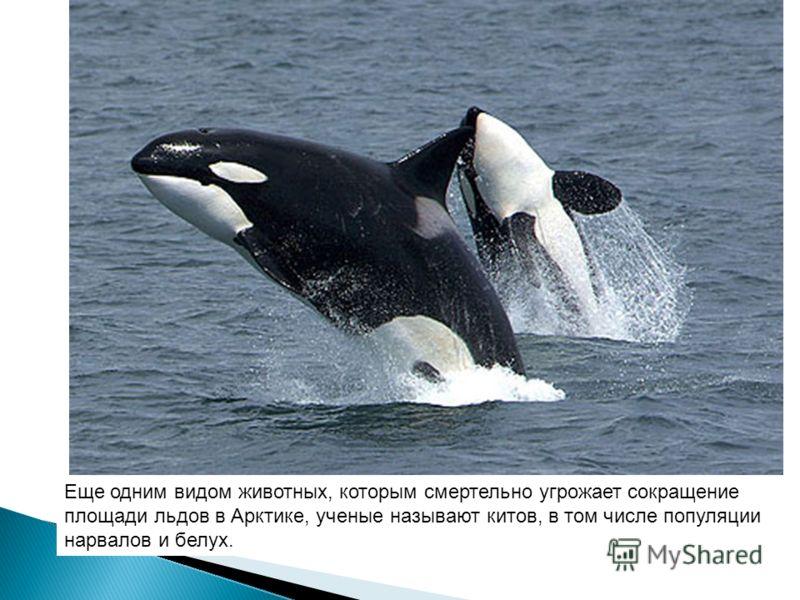 Еще одним видом животных, которым смертельно угрожает сокращение площади льдов в Арктике, ученые называют китов, в том числе популяции нарвалов и белух.