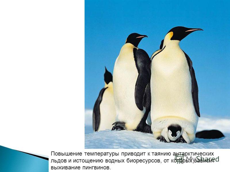 Повышение температуры приводит к таянию антарктических льдов и истощению водных биоресурсов, от которых зависит выживание пингвинов.