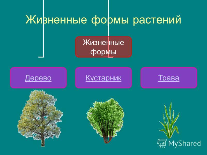 Жизненные формы растений Жизненные формы ДеревоКустарникТрава