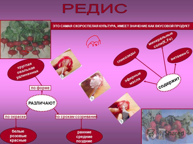 ЭТО САМАЯ СКОРОСПЕЛАЯ КУЛЬТУРА, ИМЕЕТ ЗНАЧЕНИЕ КАК ВКУСОВОЙ ПРОДУКТ РАЗЛИЧАЮТ по форме по окраскепо срокам созревания круглая овальная удлиненная белые розовые красные ранние средние поздние содержит витамин С минеральные соли(К, Fе) гликозиды эфирны