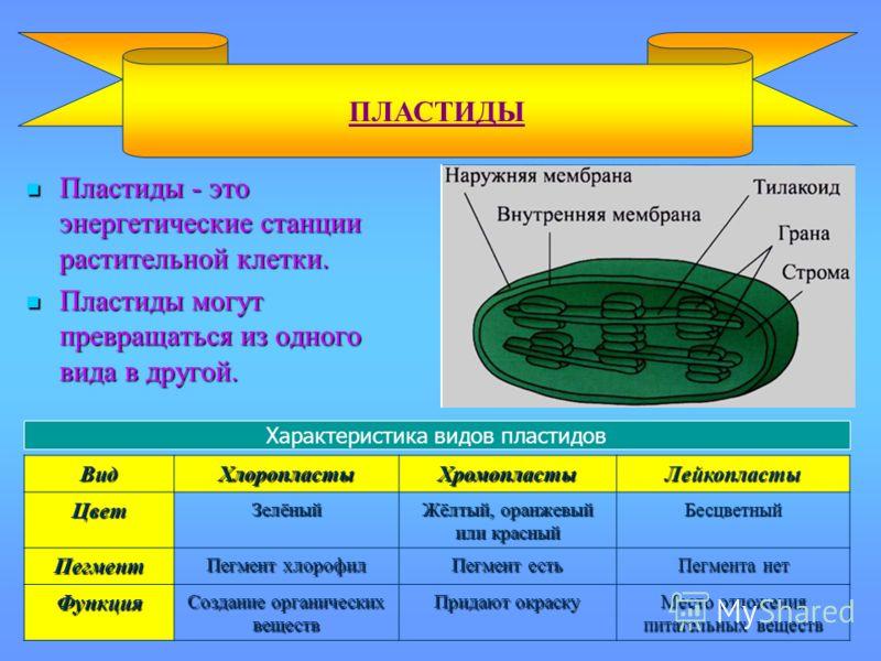 Пластиды - это энергетические станции растительной клетки. Пластиды - это энергетические станции растительной клетки. Пластиды могут превращаться из одного вида в другой. Пластиды могут превращаться из одного вида в другой. ПЛАСТИДЫВидХлоропластыХром