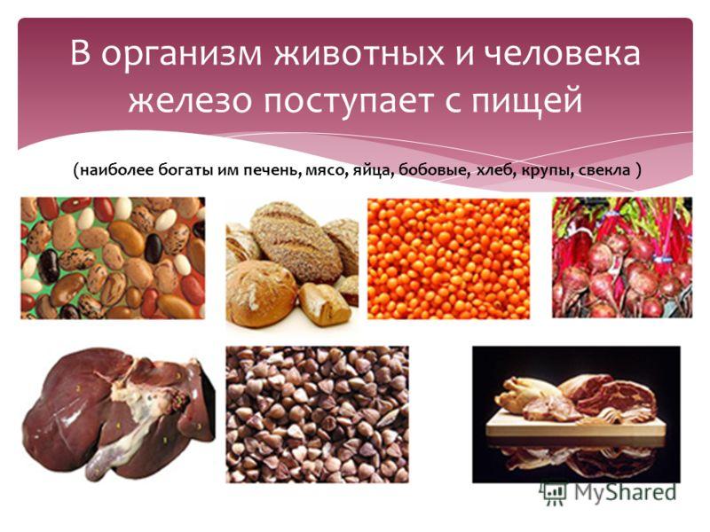В организм животных и человека железо поступает с пищей (наиболее богаты им печень, мясо, яйца, бобовые, хлеб, крупы, свекла )