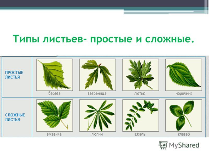 Простые листья и сложные листья картинки для 15