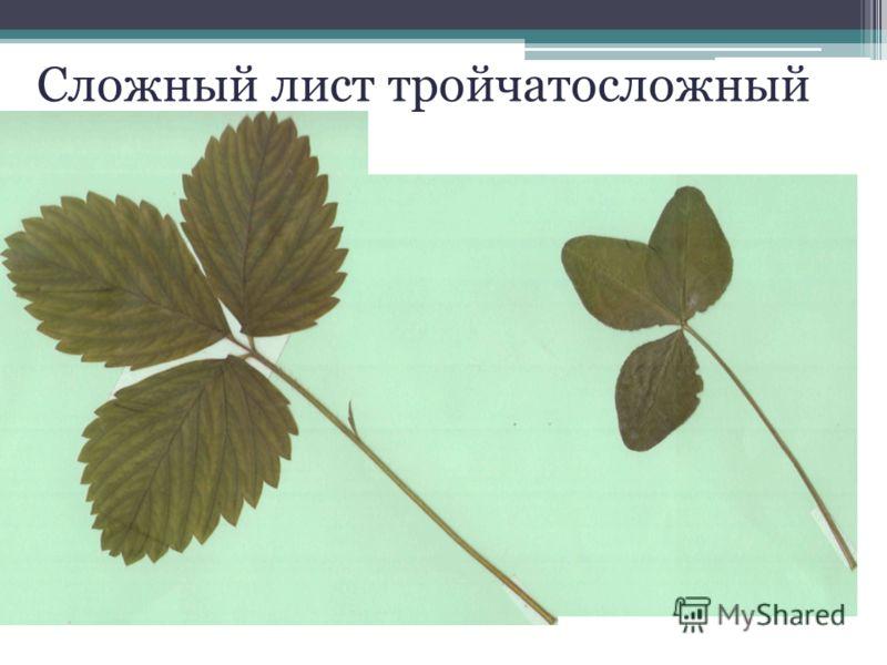 Сложный лист тройчатосложный
