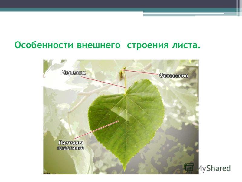 Особенности внешнего строения листа.