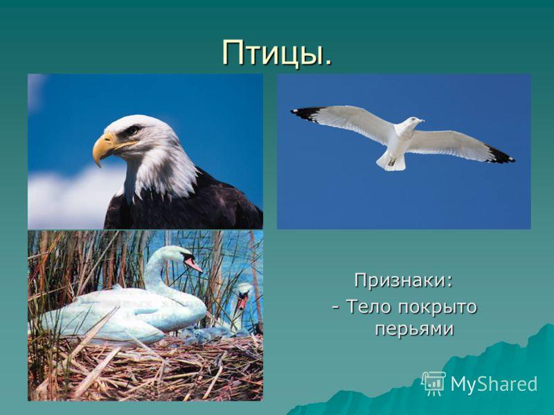 Птицы. Признаки: - Тело покрыто перьями