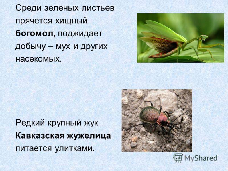 Среди зеленых листьев прячется хищный богомол, поджидает добычу – мух и других насекомых. Редкий крупный жук Кавказская жужелица питается улитками.
