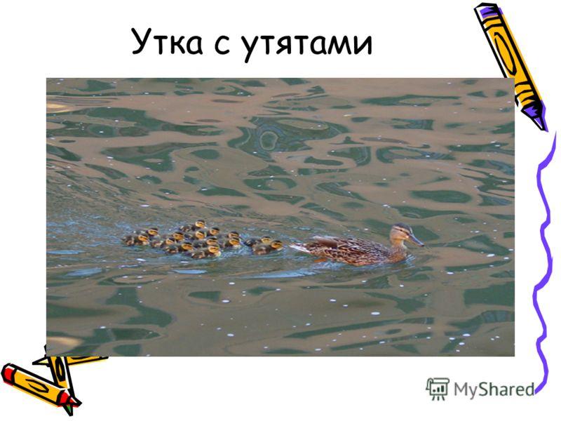 Утка с утятами