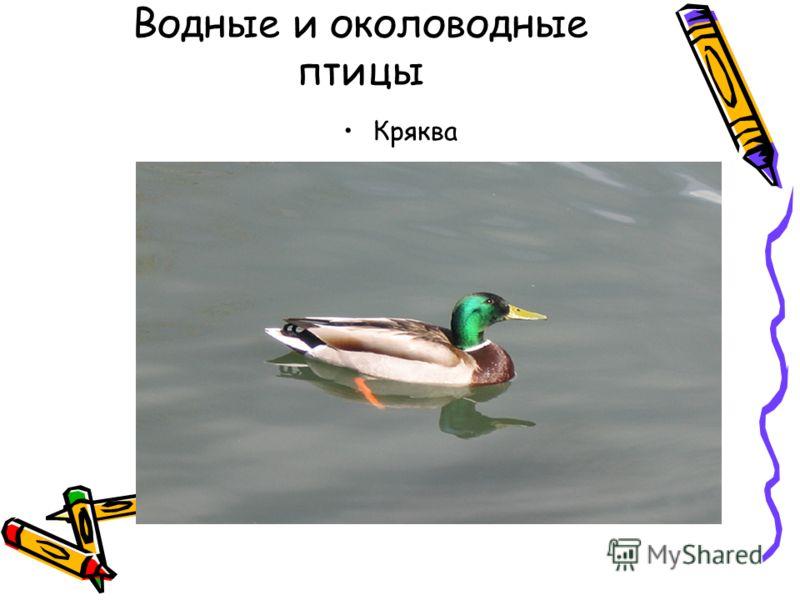 Водные и околоводные птицы Кряква