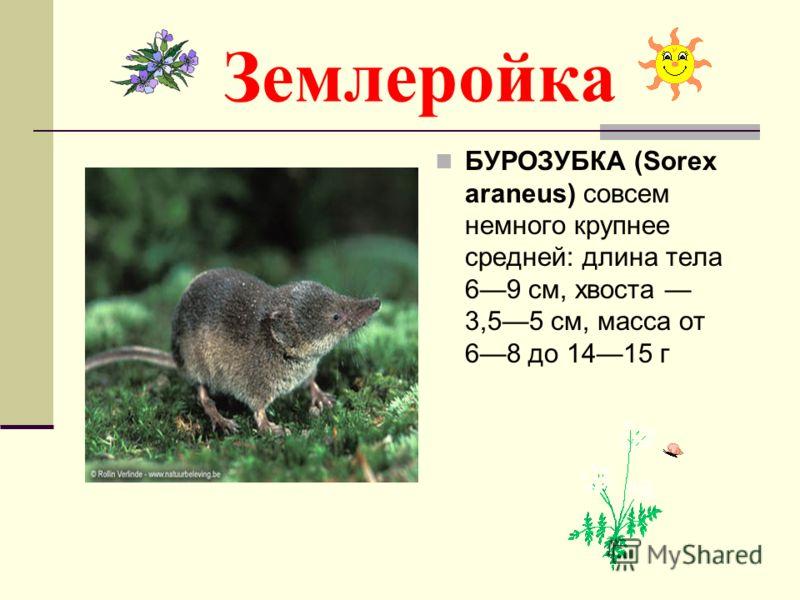 Землеройка БУРОЗУБКА (Sorex araneus) совсем немного крупнее средней: длина тела 69 см, хвоста 3,55 см, масса от 68 до 1415 г