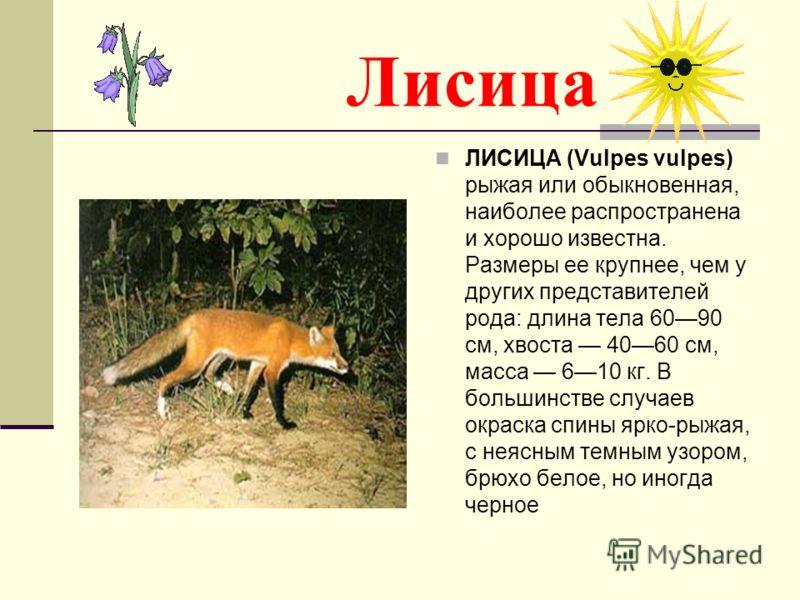 Лисица ЛИСИЦА (Vulpes vulpes) рыжая или обыкновенная, наиболее распространена и хорошо известна. Размеры ее крупнее, чем у других представителей рода: длина тела 6090 см, хвоста 4060 см, масса 610 кг. В большинстве случаев окраска спины ярко-рыжая, с