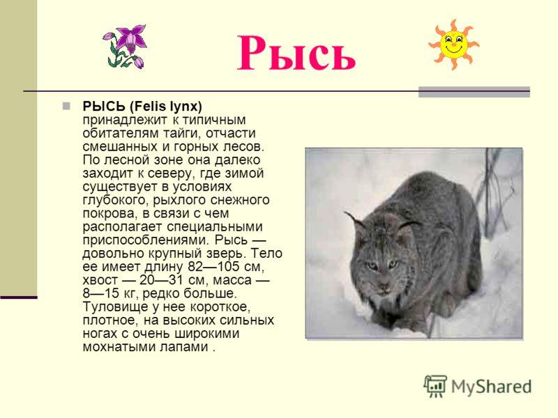 Рысь РЫСЬ (Felis lynx) принадлежит к типичным обитателям тайги, отчасти смешанных и горных лесов. По лесной зоне она далеко заходит к северу, где зимой существует в условиях глубокого, рыхлого снежного покрова, в связи с чем располагает специальными