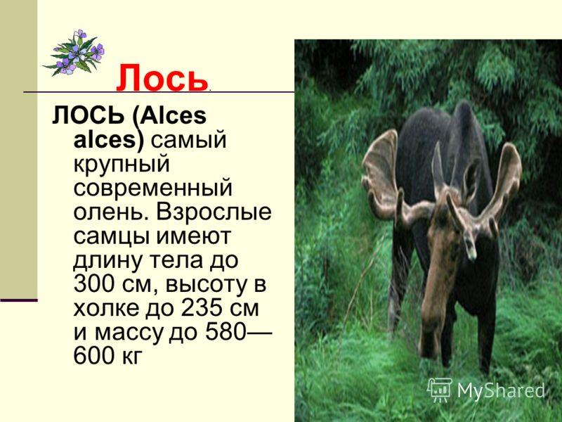 Лось. ЛОСЬ (Alces alces) самый крупный современный олень. Взрослые самцы имеют длину тела до 300 см, высоту в холке до 235 см и массу до 580 600 кг