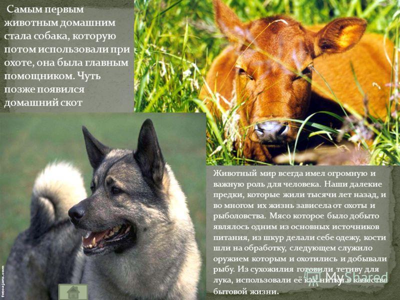 Самым первым животным домашним стала собака, которую потом использовали при охоте, она была главным помощником. Чуть позже появился домашний скот Животный мир всегда имел огромную и важную роль для человека. Наши далекие предки, которые жили тысячи л