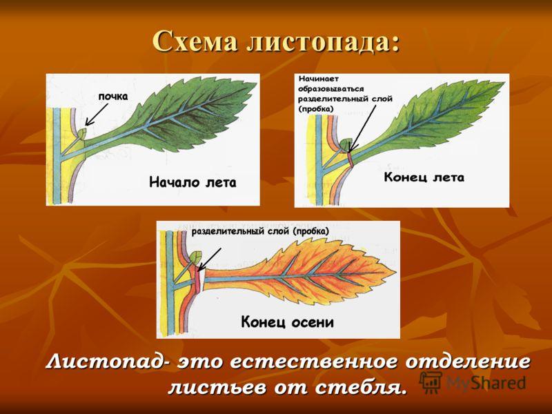 Схема листопада: Листопад- это естественное отделение листьев от стебля.