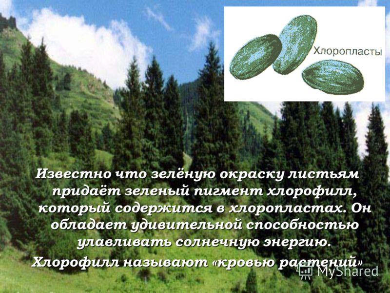 Известно что зелёную окраску листьям придаёт зеленый пигмент хлорофилл, который содержится в хлоропластах. Он обладает удивительной способностью улавливать солнечную энергию. Хлорофилл называют «кровью растений»