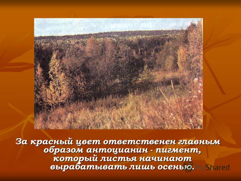 За красный цвет ответственен главным образом антоцианин - пигмент, который листья начинают вырабатывать лишь осенью.