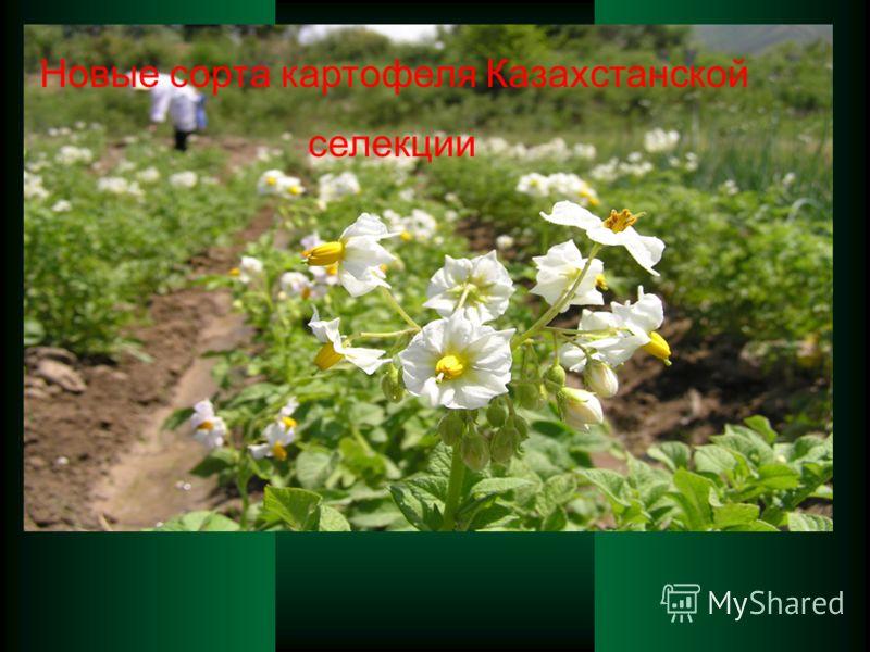 Новые сорта картофеля Казахстанской селекции