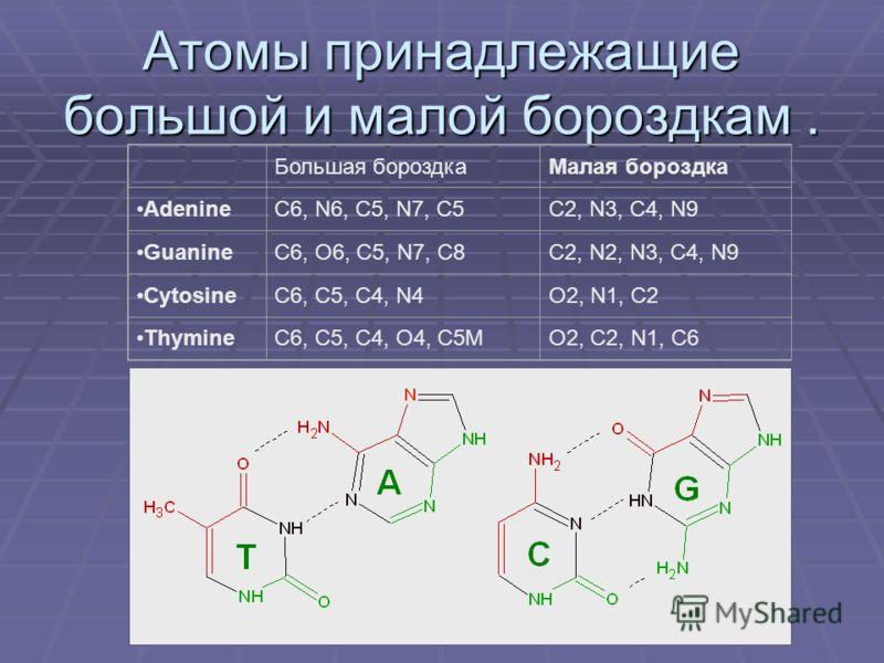 Атомы принадлежащие большой и малой бороздкам. Большая бороздкаМалая бороздка AdenineC6, N6, C5, N7, C5C2, N3, C4, N9 GuanineC6, O6, C5, N7, C8C2, N2, N3, C4, N9 CytosineC6, C5, C4, N4O2, N1, C2 ThymineC6, C5, C4, O4, C5MO2, C2, N1, C6