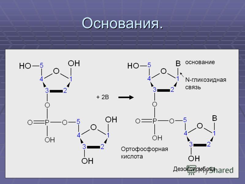 Основания. Дезоксирибоза Ортофосфорная кислота основание + 2В N-гликозидная связь