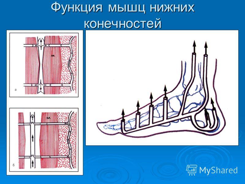 Функция мышц нижних конечностей