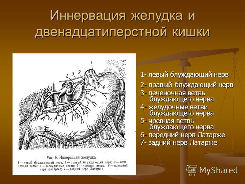Иннервация желудка и двенадцатиперстной кишки 1- левый блуждающий нерв 2- правый блуждающий нерв 3- печеночная ветвь блуждающего нерва 4- желудочные ветви блуждающего нерва 5- чревная ветвь блуждающего нерва 6- передний нерв Латарже 7- задний нерв Ла