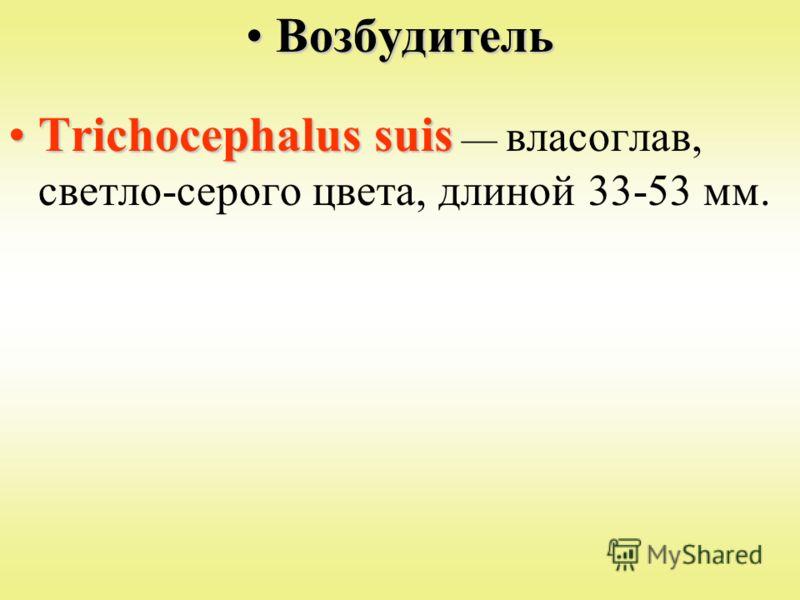 ВозбудительВозбудитель Trichocephalus suisTrichocephalus suis власоглав, светло-серого цвета, длиной 33-53 мм.