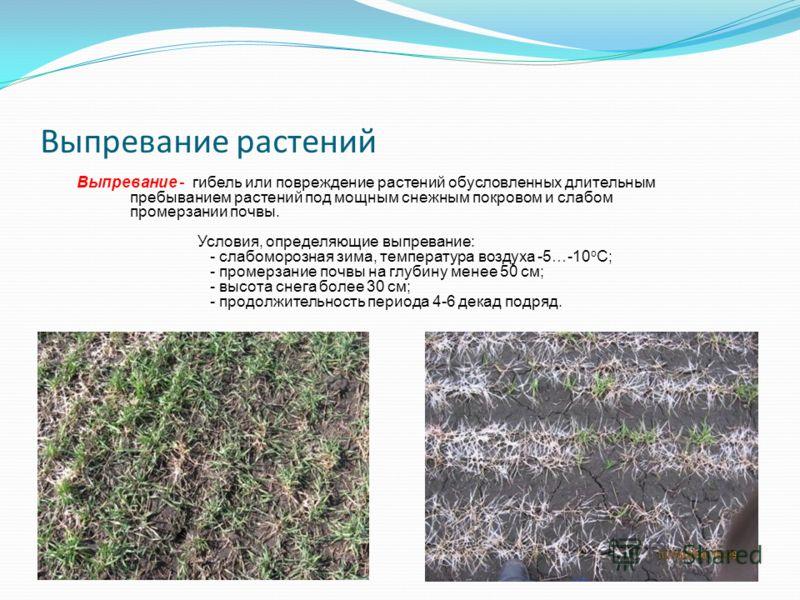 Выпревание растений Выпревание - гибель или повреждение растений обусловленных длительным пребыванием растений под мощным снежным покровом и слабом промерзании почвы. Условия, определяющие выпревание: - слабоморозная зима, температура воздуха -5…-10