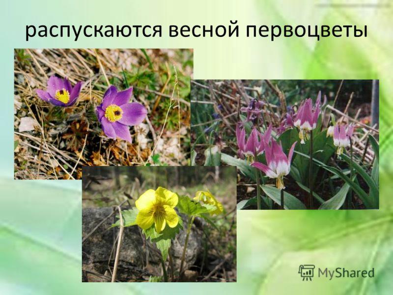 распускаются весной первоцветы