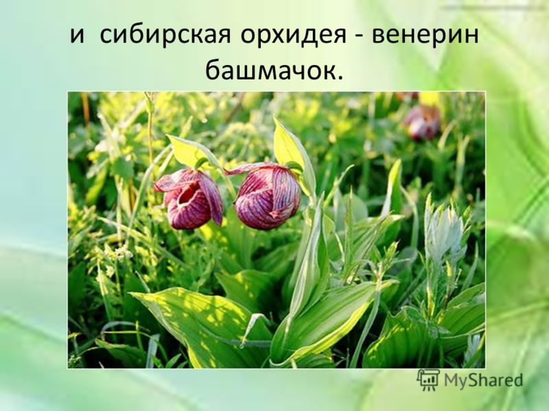 и сибирская орхидея - венерин башмачок.
