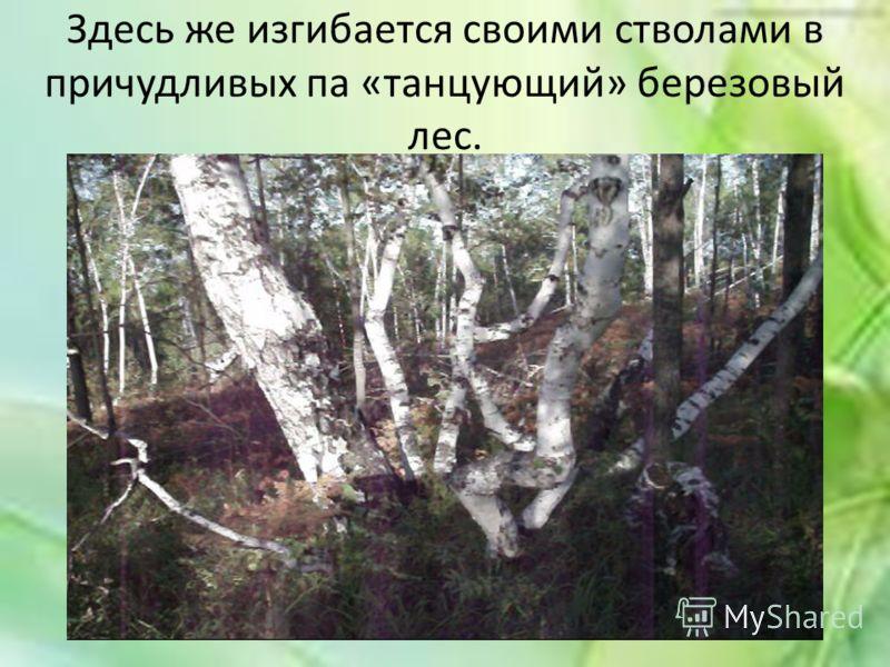 Здесь же изгибается своими стволами в причудливых па «танцующий» березовый лес.