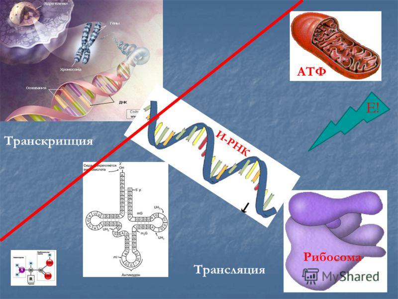 Рибосома И-РНК Е! АТФ Транскрипция Трансляция