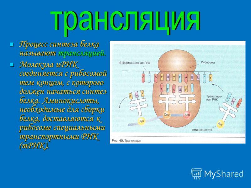 Процесс синтеза белка называют трансляцией. Процесс синтеза белка называют трансляцией. Молекула иРНК соединяется с рибосомой тем концом, с которого должен начаться синтез белка. Аминокислоты, необходимые для сборки белка, доставляются к рибосоме спе