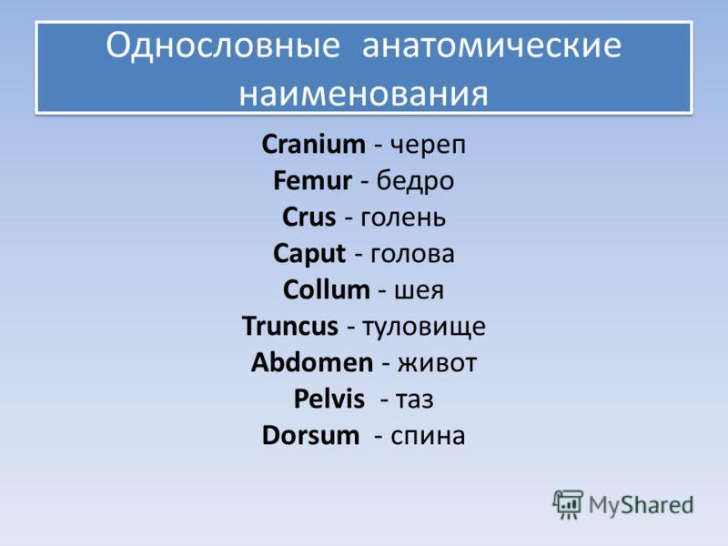 Однословные анатомические наименования Cranium - череп Femur - бедро Crus - голень Caput - голова Collum - шея Truncus - туловище Abdomen - живот Pelvis - таз Dorsum - спина