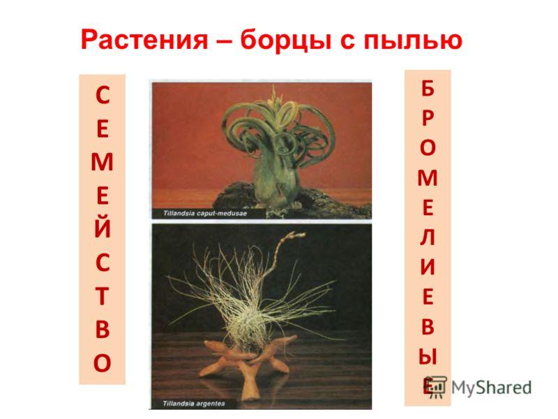 СЕМЕЙСТВОСЕМЕЙСТВО БРОМЕЛИЕВЫЕБРОМЕЛИЕВЫЕ Растения – борцы с пылью