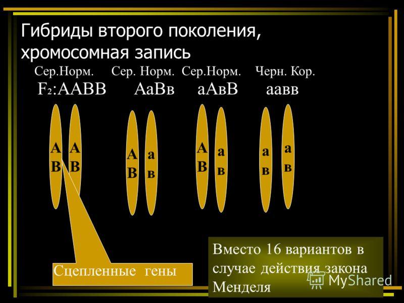 Гибриды второго поколения, хромосомная запись F 2 :ААВВ АаВв аАвВ аавв АВАВ АВАВ АВАВ авав АВАВ авав авав авав Вместо 16 вариантов в случае действия закона Менделя Сцепленные гены Сер.Норм. Сер. Норм. Сер.Норм. Черн. Кор.