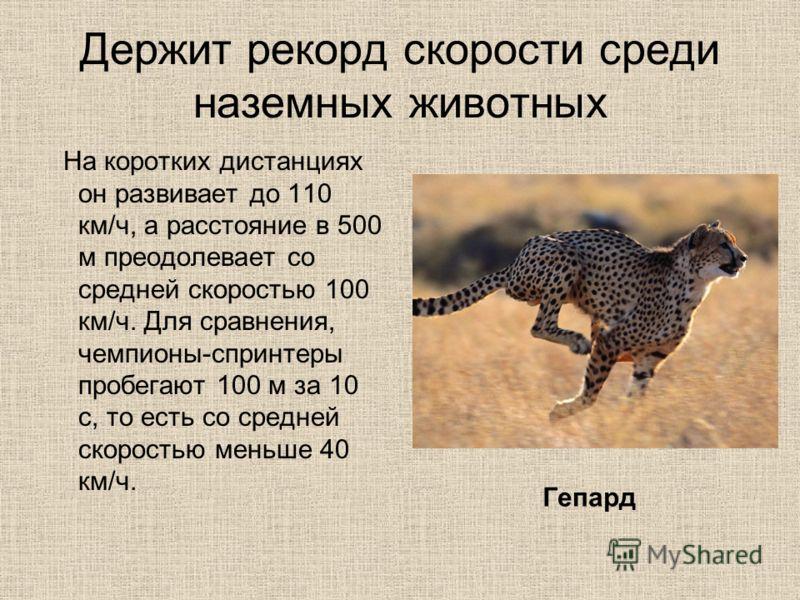 Держит рекорд скорости среди наземных животных На коротких дистанциях он развивает до 110 км/ч, а расстояние в 500 м преодолевает со средней скоростью 100 км/ч. Для сравнения, чемпионы-спринтеры пробегают 100 м за 10 с, то есть со средней скоростью м