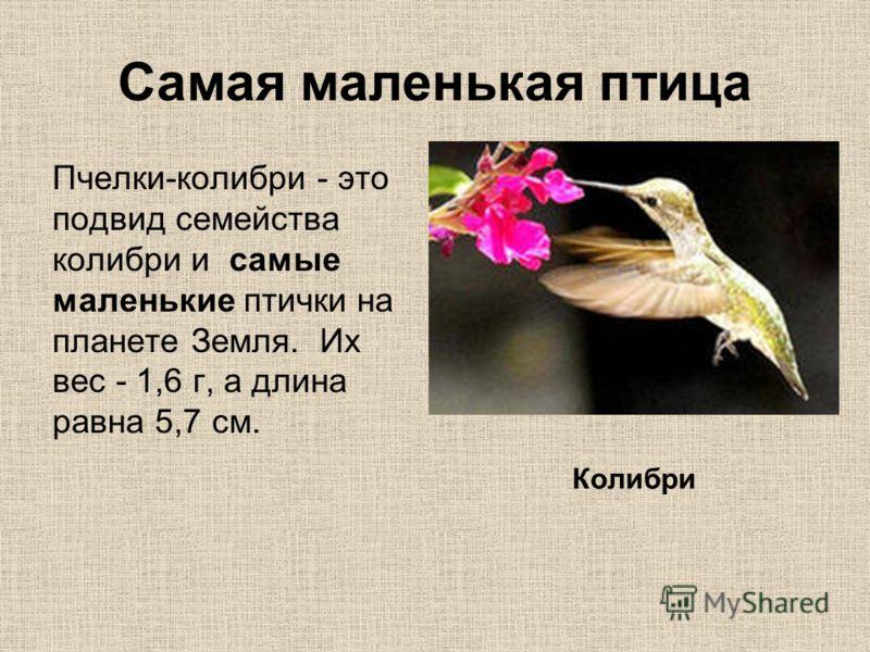 Самая маленькая птица Пчелки-колибри - это подвид семейства колибри и самые маленькие птички на планете Земля. Их вес - 1,6 г, а длина равна 5,7 см. Колибри