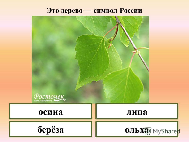У какого растения сережки имеют ласковые, нежные названия колечки, пушки, лапки? берёза липа ива черёмуха