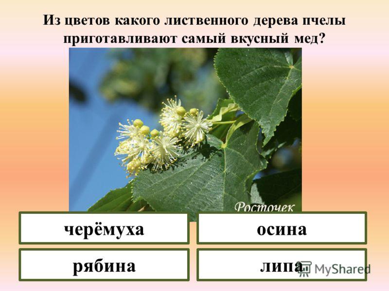 Листья какого дерева никогда не меняют своего цвета и опадают осенью зелеными? липа ольха дуб вяз