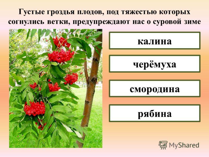 Ветви и листья этого дерева являются олицетворением могущества, долголетия и здоровья клён берёза дуб осина