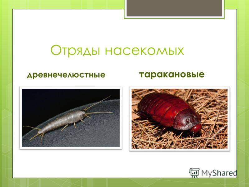 Отряды насекомых древнечелюстные таракановые