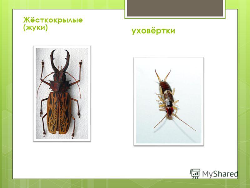 Жёсткокрылые (жуки) уховёртки