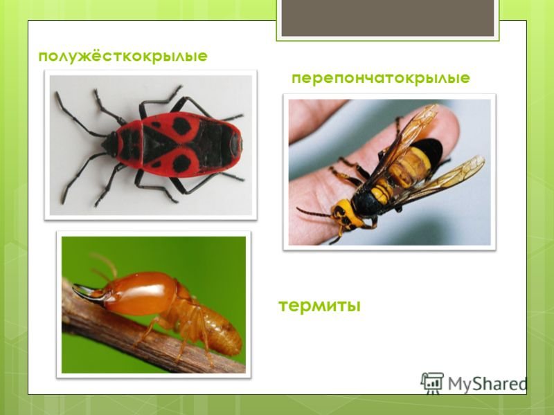 полужёсткокрылые перепончатокрылые термиты