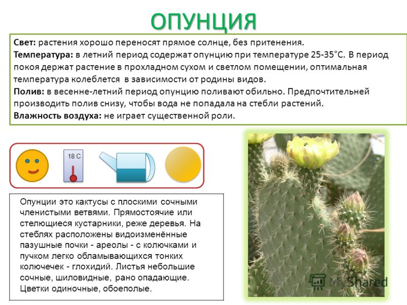 ОПУНЦИЯ Свет: растения хорошо переносят прямое солнце, без притенения. Температура: в летний период содержат опунцию при температуре 25-35°С. В период покоя держат растение в прохладном сухом и светлом помещении, оптимальная температура колеблется в