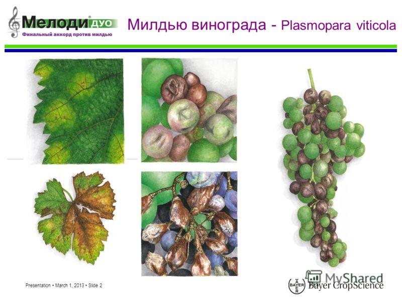 Presentation March 1, 2013 Slide 2 Милдью винограда - Plasmopara viticola