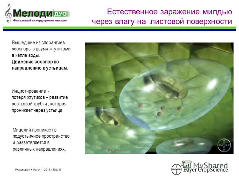 Presentation March 1, 2013 Slide 5 Естественное заражение милдью через влагу на листовой поверхности Вышедшие из спорангиев зооспоры с двумя жгутиками в капле воды. Движение зооспор по направлению к устьицам. Инцистирование - потеря жгутиков – развит
