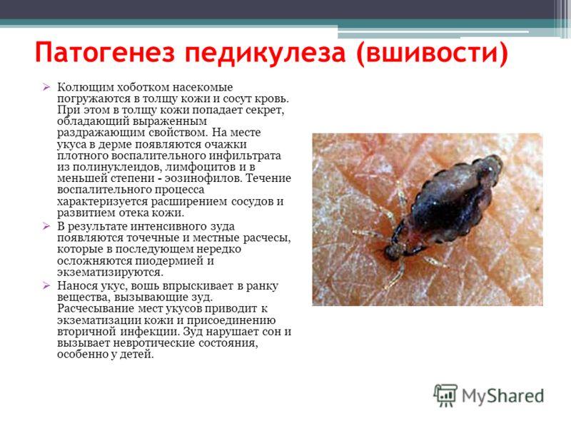 Патогенез педикулеза (вшивости) Колющим хоботком насекомые погружаются в толщу кожи и сосут кровь. При этом в толщу кожи попадает секрет, обладающий выраженным раздражающим свойством. На месте укуса в дерме появляются очажки плотного воспалительного