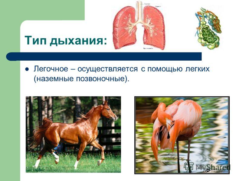 Тип дыхания: Легочное – осуществляется с помощью легких (наземные позвоночные).